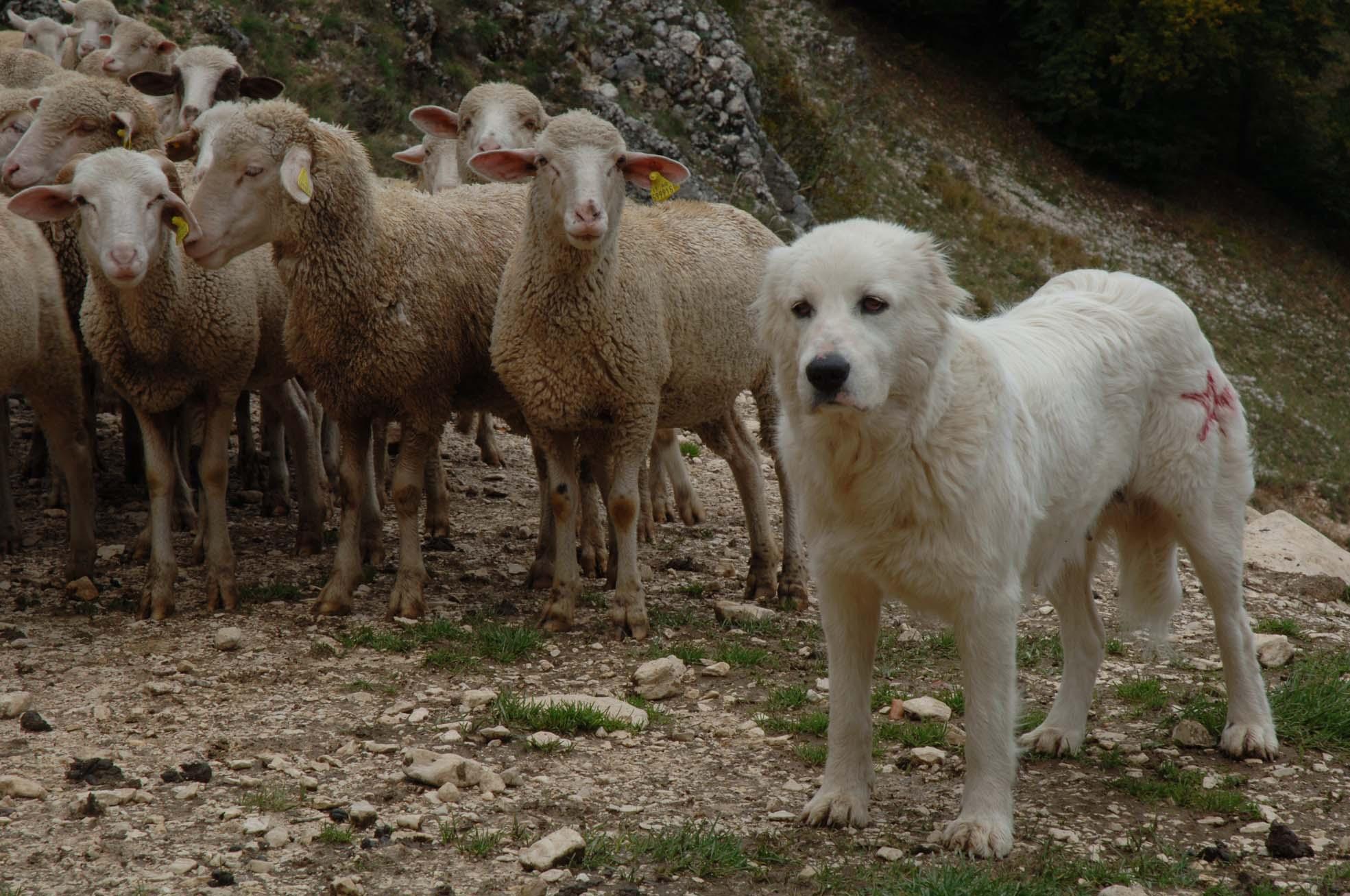 un cane da pastore accudisce le sue pecore